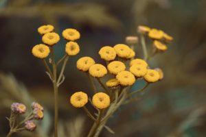 Vratič obecný – toxická rostlina, která ale zahojí rány.