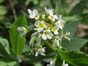 Penízek rolní – všestranná léčivá rostlina