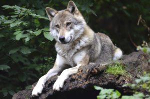 Vlci jsou zpět, v České republice najdeme už šestnáct teritorií.