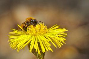 Podběl lékařský – žlutá bylina proti všem druhům onemocnění.