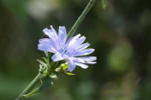 Čekanka obecná – bylina, která povzbudí i pomůže.