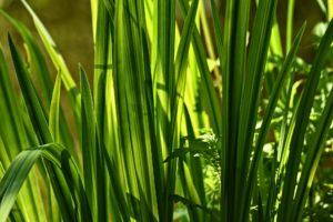 Puškvorec obecný, nenápadná bylina s léčivými účinky.