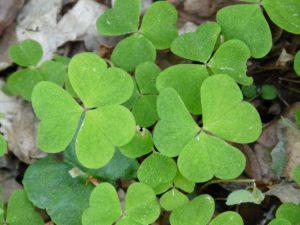 Šťavel kyselý – rostlina na hojení aftů i kožních nemocí.