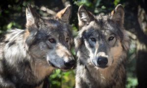 Vlk obecný – vlastnosti, rozmnožování, výkony a spoustu dalšího.